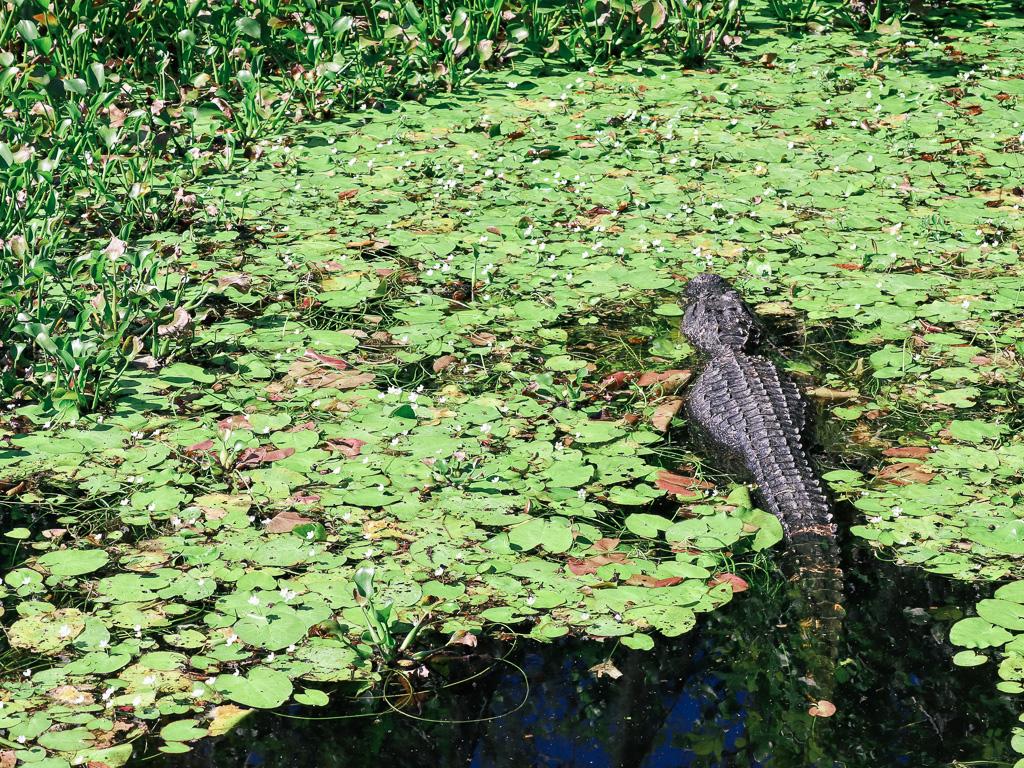 Wildlife in Florida - Alligator