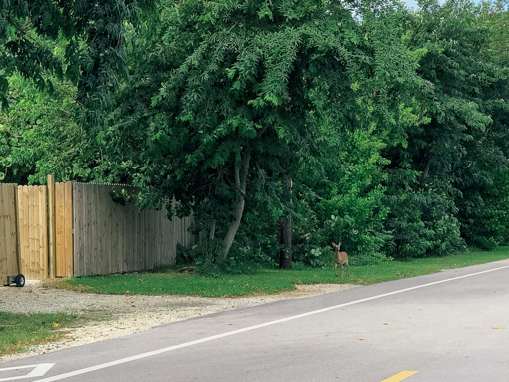 Key Deer op Big Pine Key
