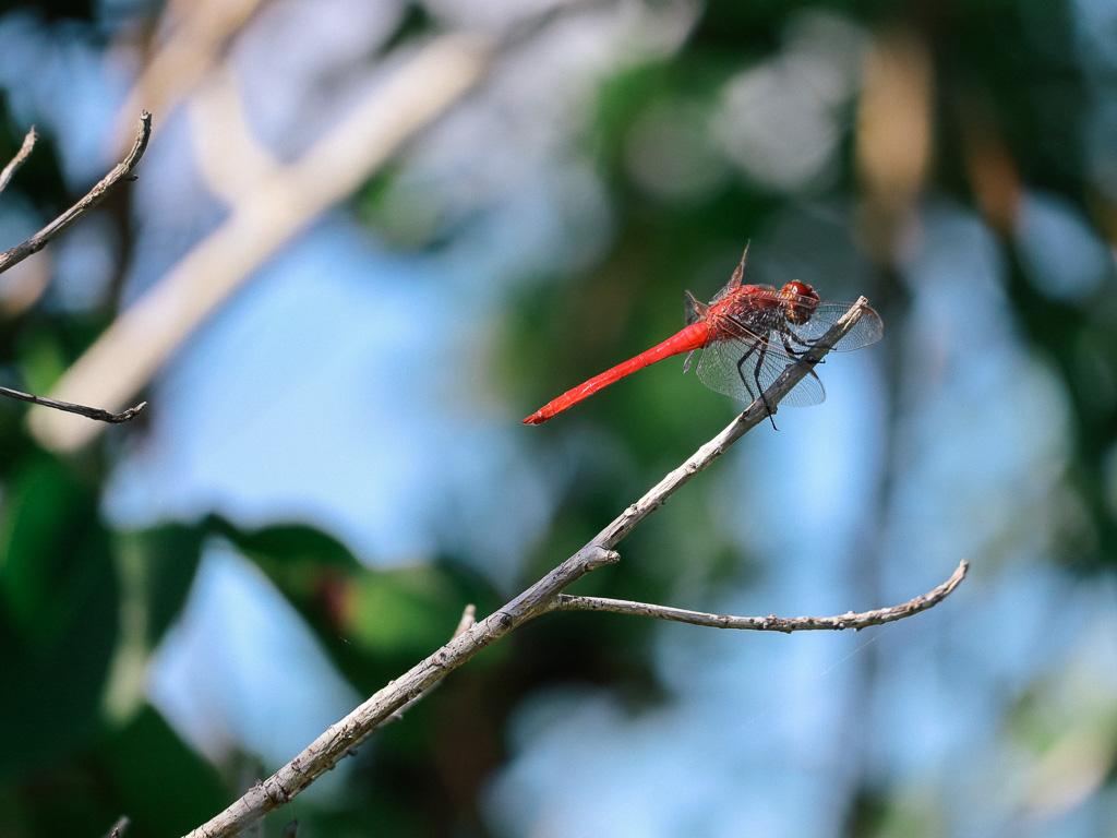 Wildlife in Florida - Vuurrode Libelle